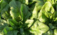 Ispanak tohumu nasıl ekilir?