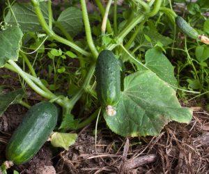 Organik Salatalık Tohum Ekimi