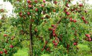 Elma ne zaman ekilir