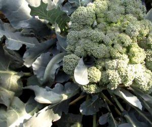 Brokoli Ne Zaman Ekilir?