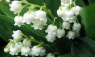 İnci Çiçeği