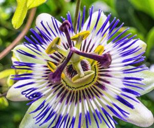 Çarkı Felek Çiçeği