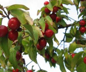 Baladur Ağacı