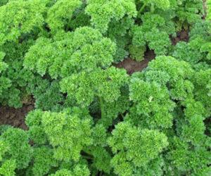 Frenk Salatası