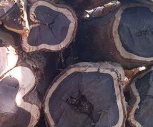 Abanoz Ağacı Faydaları Nedir ve Nerede yetişir ?