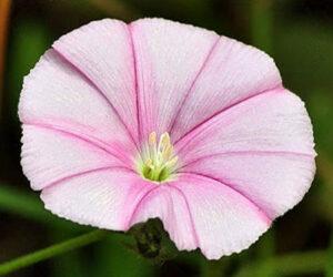 Çadır Çiçeği