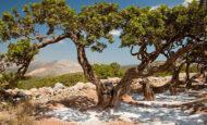 Damla Sakızı Ağacı