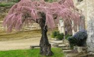 Ilgın Ağacı