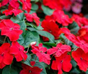 Çam Güzeli Çiçeği