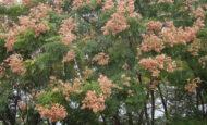 Gez Ağacı