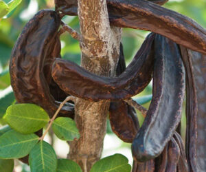 Harnup Ağacı