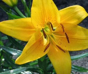 Sarı Zambak