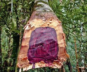 Pelesenk Odunu