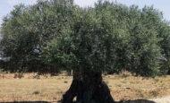 Yabani Zeytin Ağacı